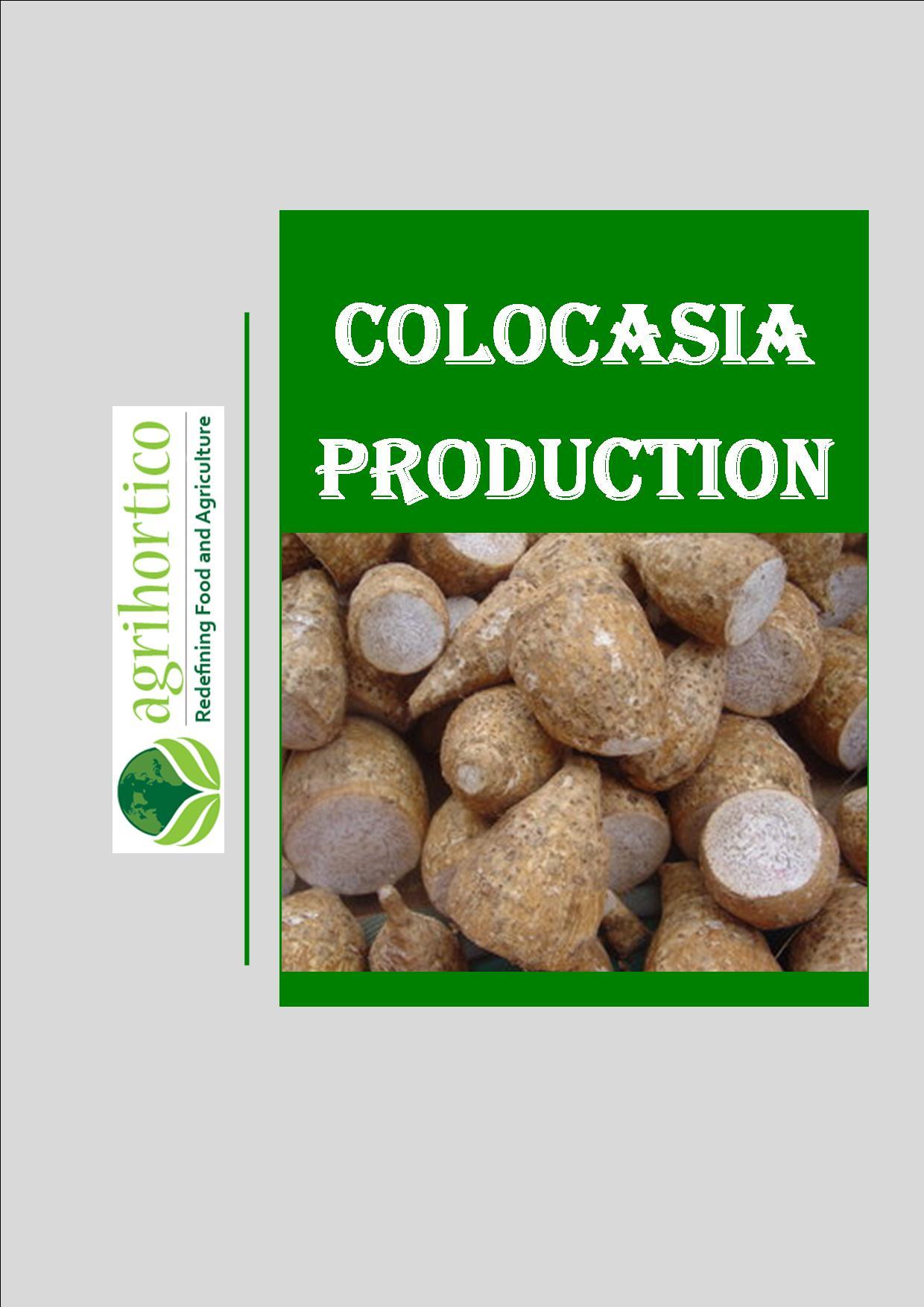 colocasia-production