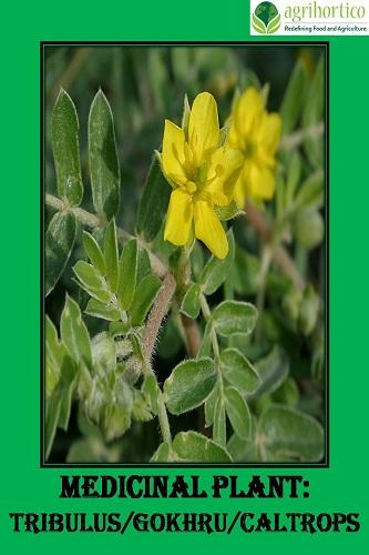 Medicinal Plant: Tribulus or Gokhru
