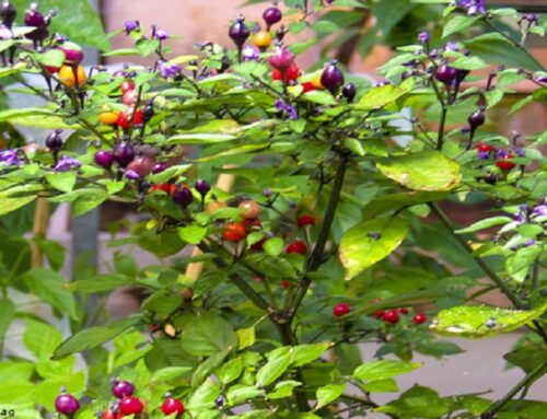 Capsicum eximium, a Wild Chile Pepper Species