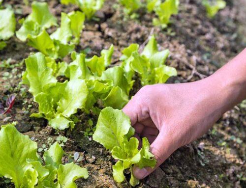 Growing Lettuce