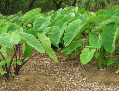 Growing Taro or Colocasia