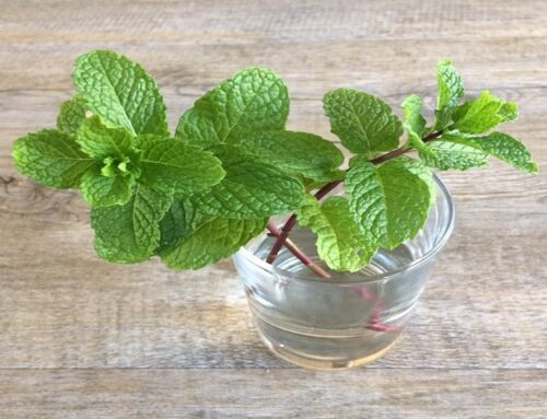 Growing Japanese Mint