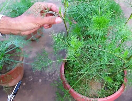 Growing Dill Herb
