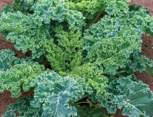 Growing Practices for Kale