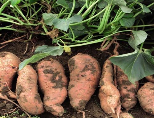 Growing Sweet Potato